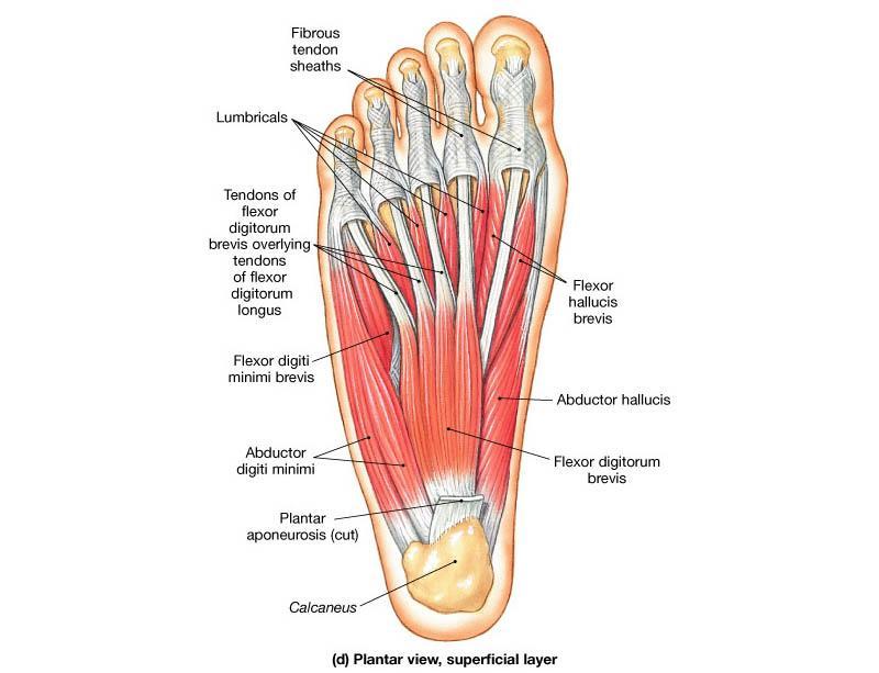 足部の内在筋ってとても大切… Studyblueより