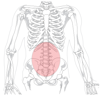 345px-lumbar_region_in_human_skeleton-svg